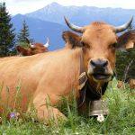 Maison de la montagne de Nâves Vache tarine